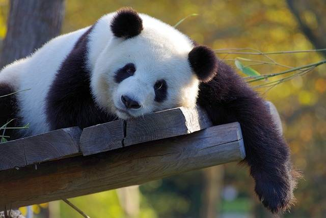 Bored Panda : Panda Bosan Yang Tidak Membosankan